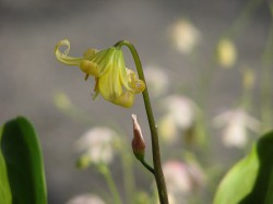 Erythronium grandiflorum Pursh黄花片栗
